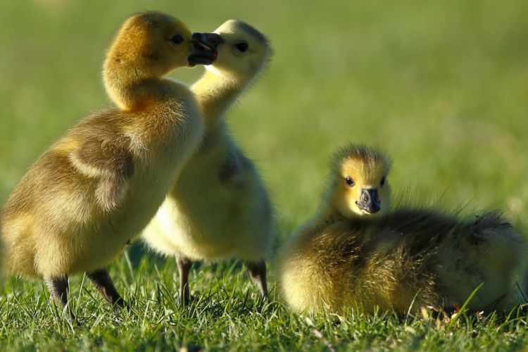 Canada goose goslings chick geese baby wallpaper