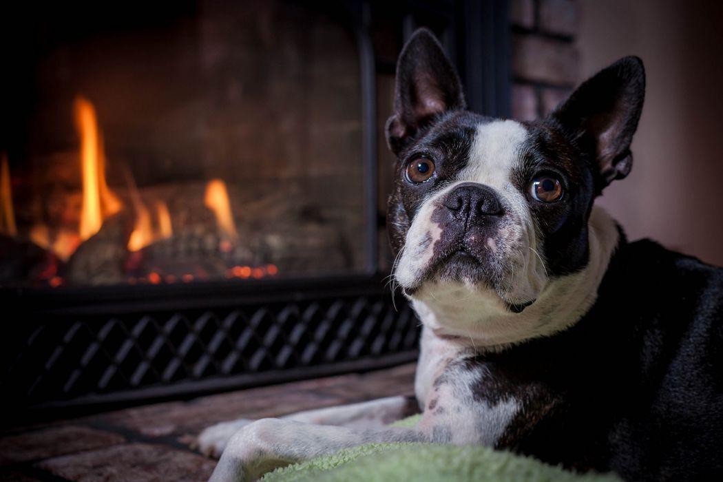 Boston Terrier dog muzzle eyes fireplace wallpaper
