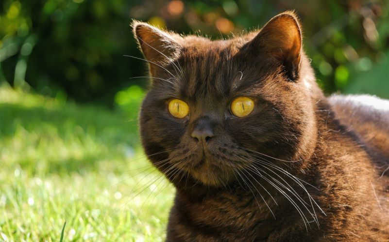 cat tomcat face enormous eyes a mustache wallpaper