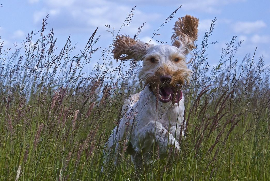 dog joy mood walking ears tongue meadow grass wallpaper