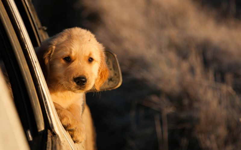 Dog puppy animal car sunset baby wallpaper