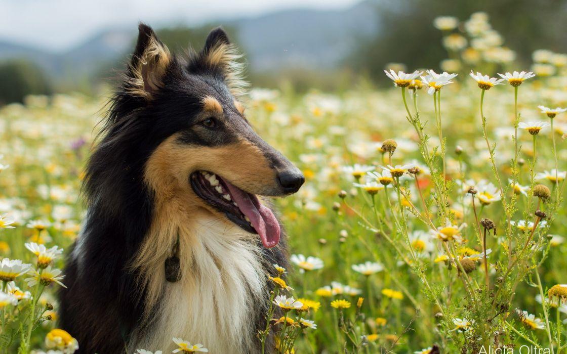 Dogs animals grass flowers daisies nature dog flower wallpaper