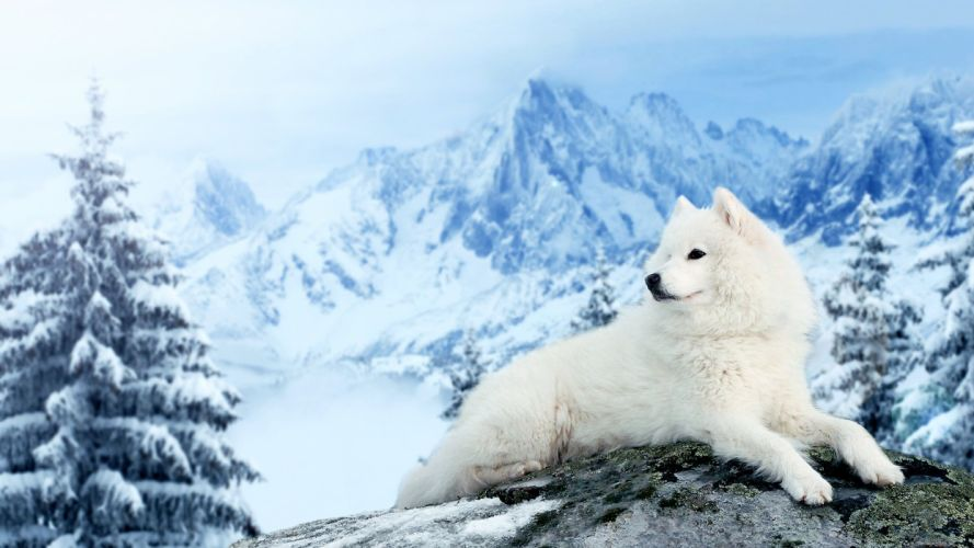 Dog Samoyed mountains winter snow wallpaper