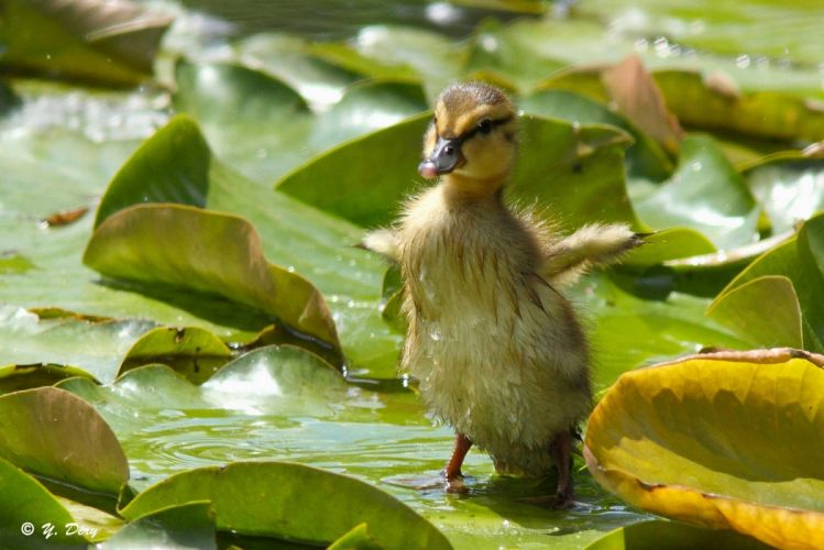 duck duckling chick baby wings leaves bird wallpaper