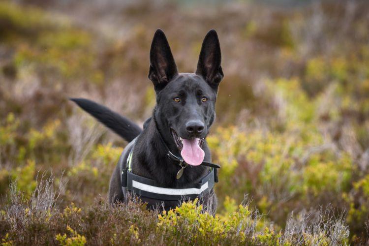 dog shepherd tongue ears wallpaper