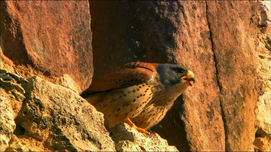 falcon predator bird wallpaper