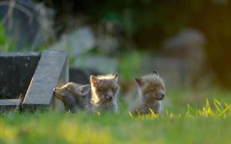 fox foxes baby g wallpaper