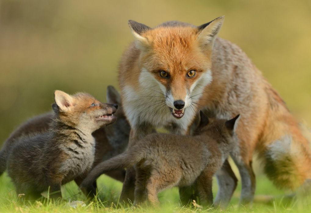 fox foxes baby mother wallpaper