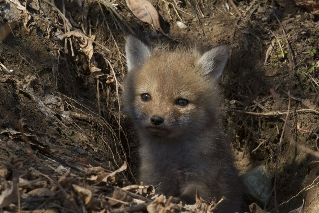fox foxes baby forest wallpaper