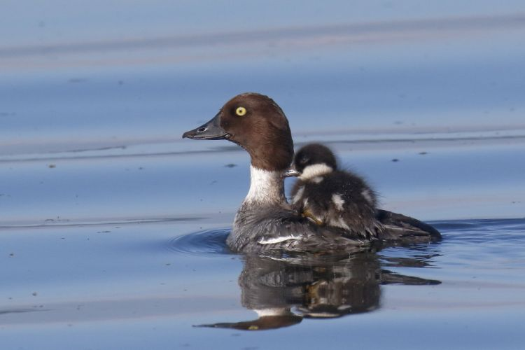 goldeneye duck bird chick ferry water baby mother wallpaper