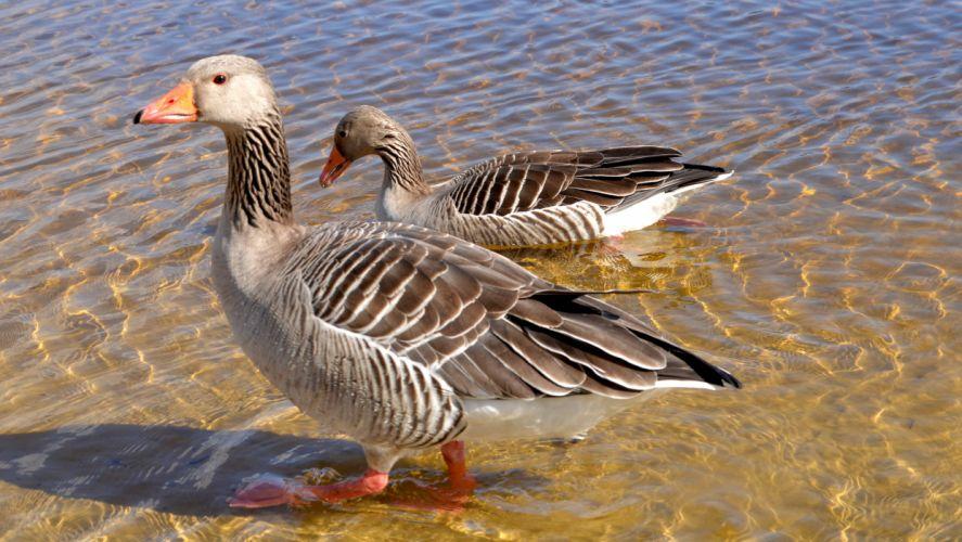 goose geese wallpaper