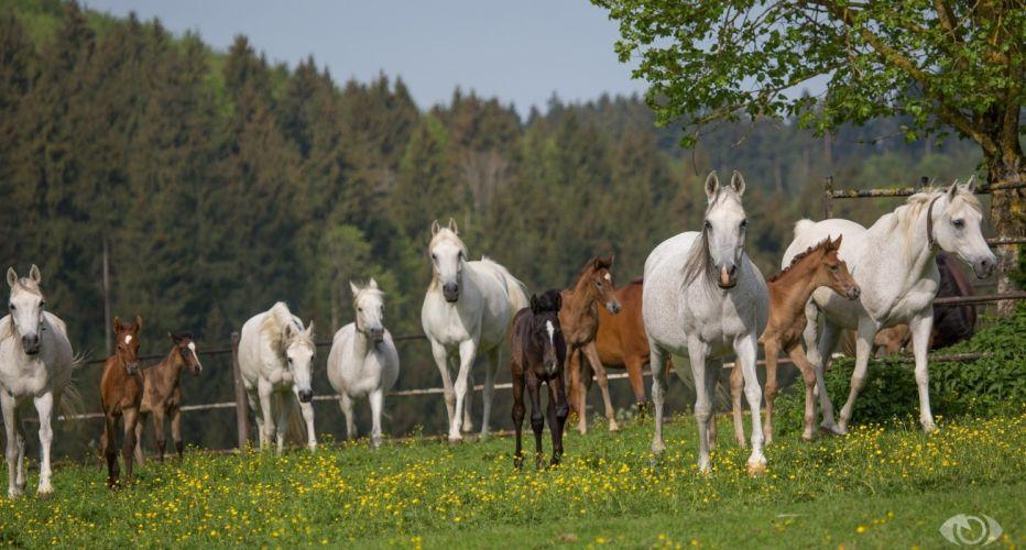 horse horses herd paddock summer wallpaper
