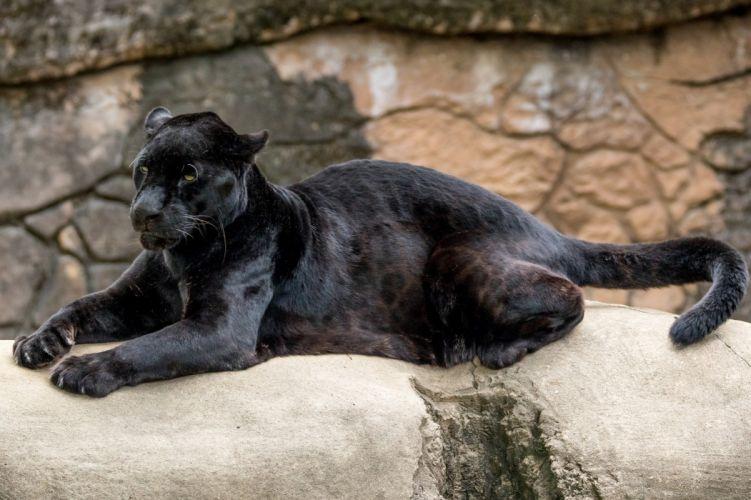 jaguar leapard d wallpaper