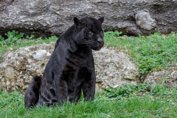 jaguar panther wildcat predator f wallpaper