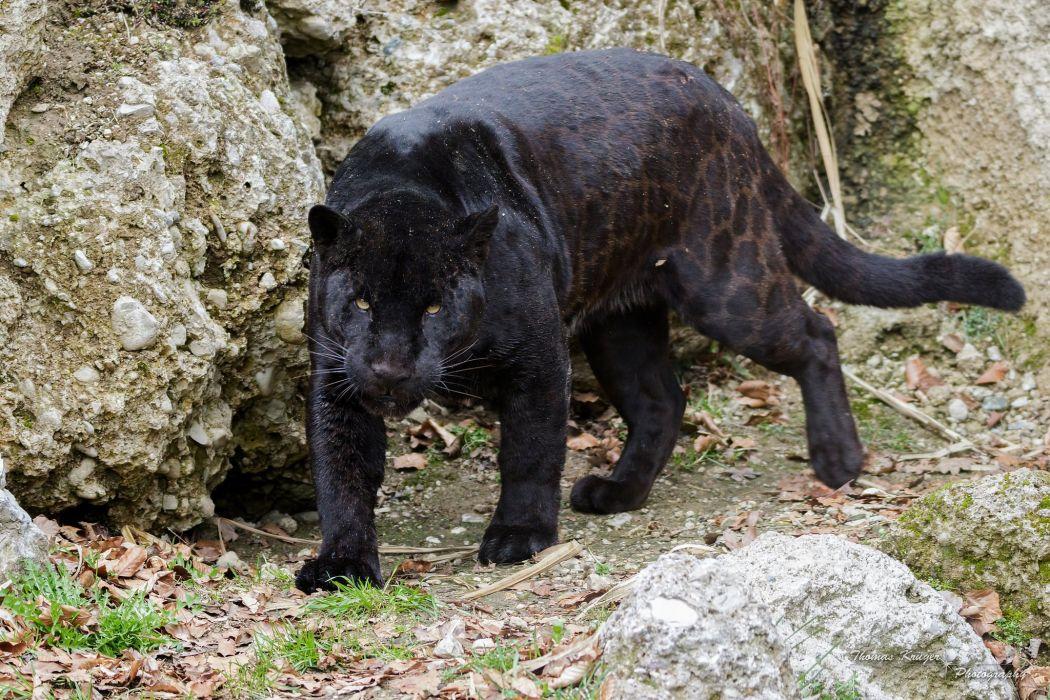 jaguar panther wildcat predator wallpaper