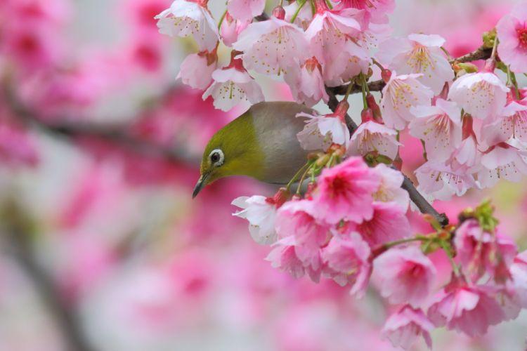 Japanese white-eye bird sakura cherry branch blossom flowers spring wallpaper