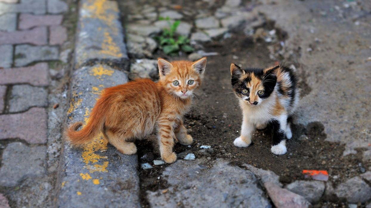 kitten baby cat b wallpaper