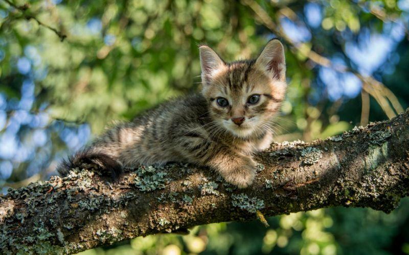 kitten baby cat h wallpaper