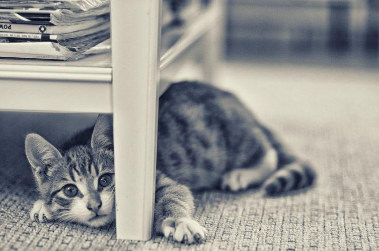 kitten baby cat f wallpaper