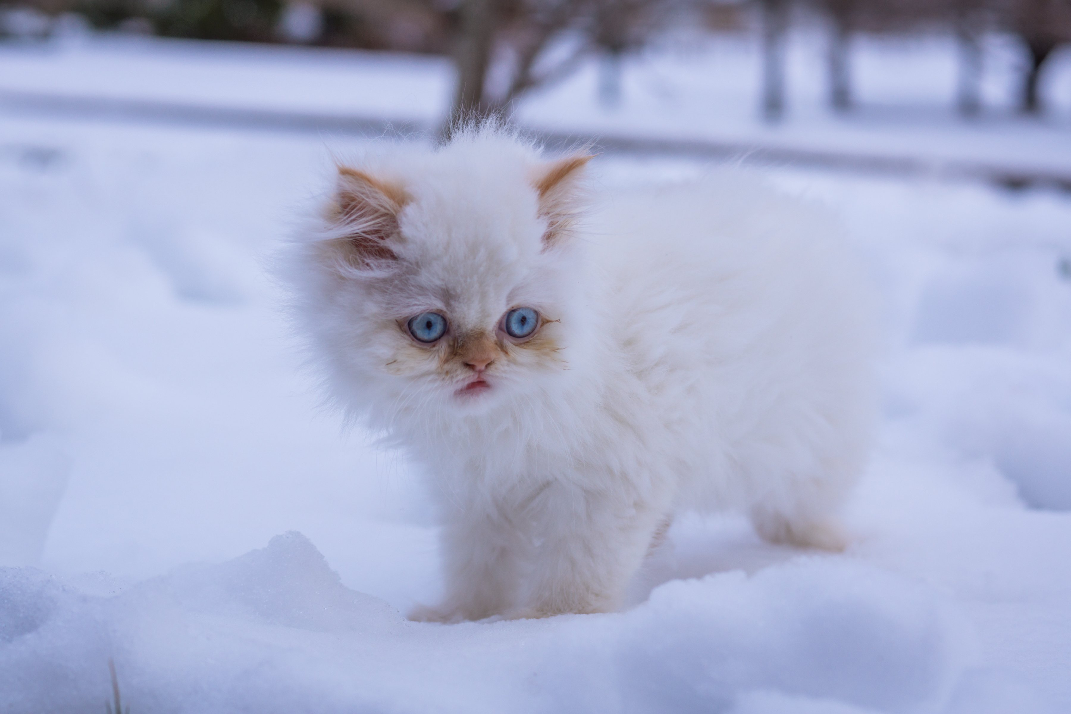 persian kittens hd wallpaper