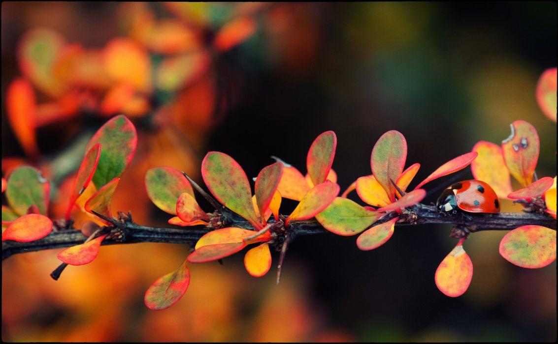 Ladybug autumn wallpaper