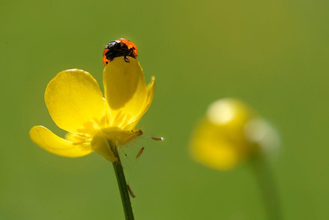 Ladybug flower f wallpaper