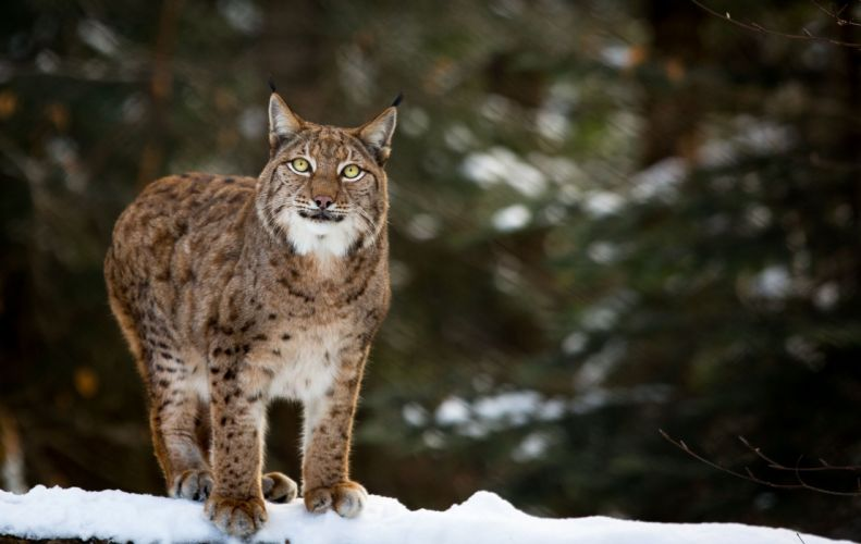 lynx wild cat carnivore posture grace winter snow f wallpaper