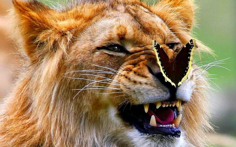 lion butterfly wallpaper