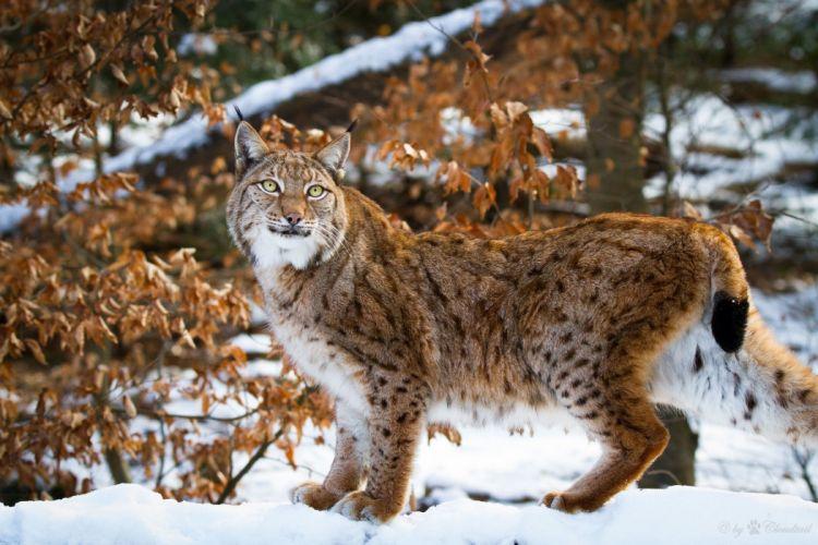 lynx wild cat carnivore posture grace winter snow wallpaper