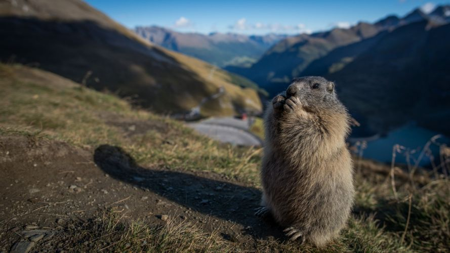 marmot rodent meadow mountains s wallpaper