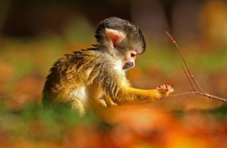 Monkey baby f wallpaper