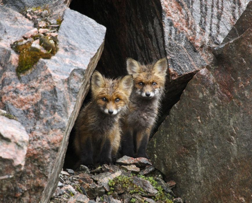 Nora shelter foxes fox baby wallpaper