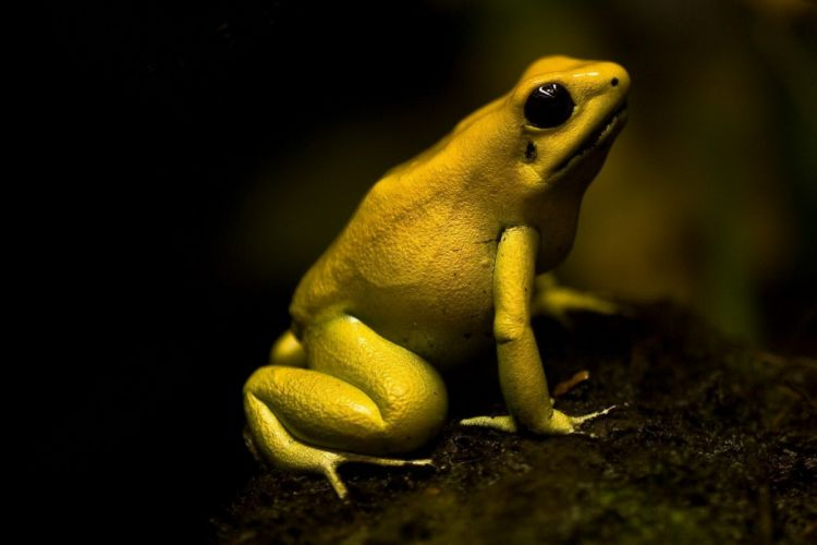 Poison Dart Frog wallpaper