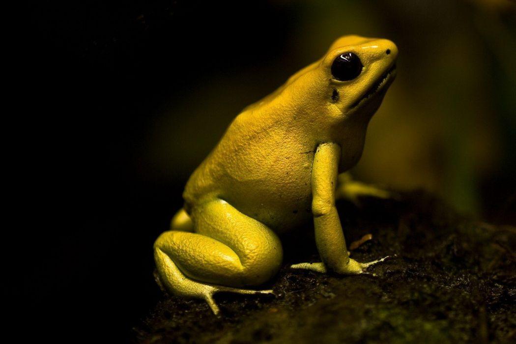 Poison Dart Frog wallpaper