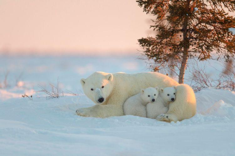 Polar Bear baby mother winter snow wallpaper