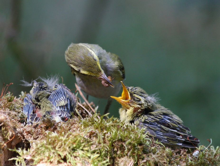 Pichuga mother chick bird mother baby wallpaper