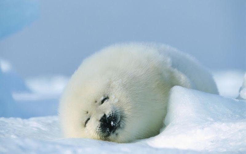 puppy cute fur snow winter sleeping animals seal baby wallpaper