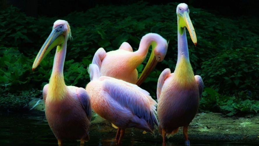 Rainbow pelican feathers wallpaper