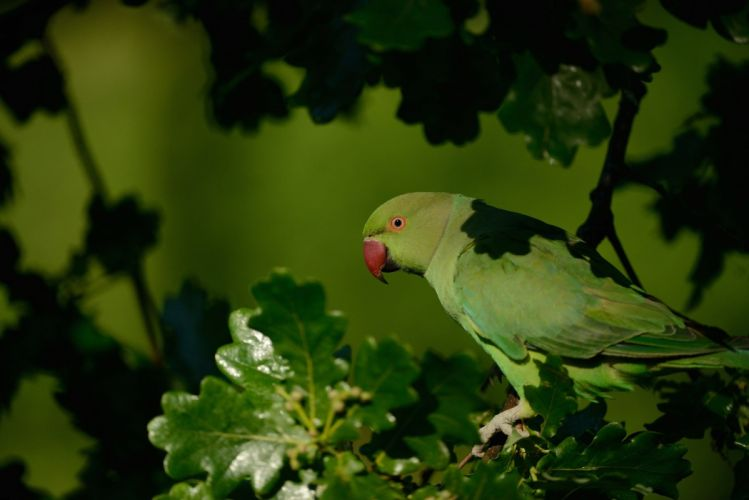 Rose ringed parakeet parrot wallpaper