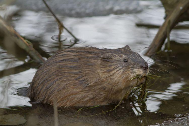 river marsh muskrat beaver wallpaper