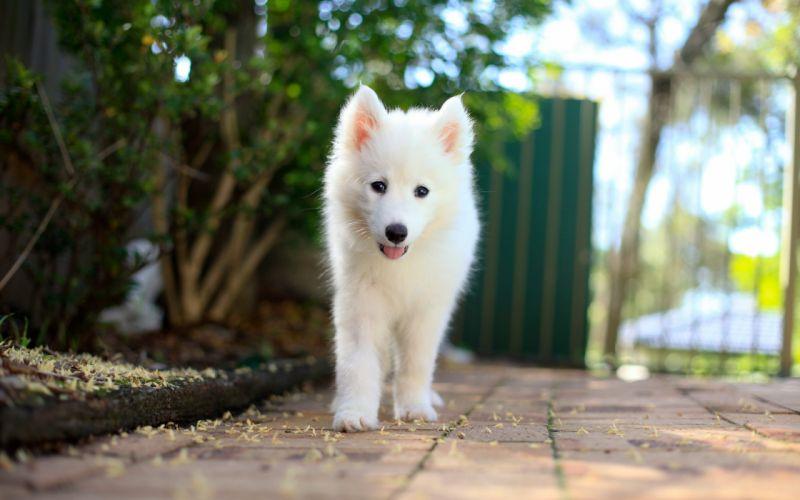Samoyed dog puppy animal baby wallpaper