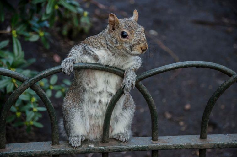 squirrel f wallpaper