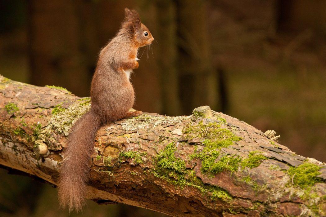 squirrel rodent wallpaper