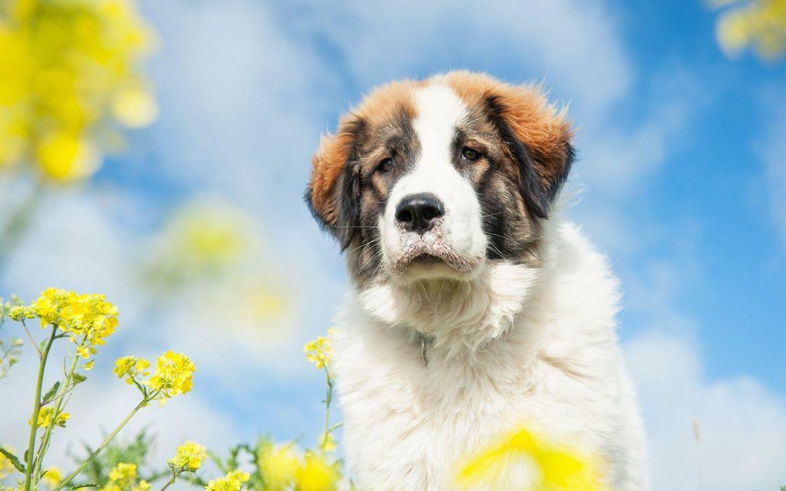 St Bernard dog dog rape flowers sky baby puppy wallpaper