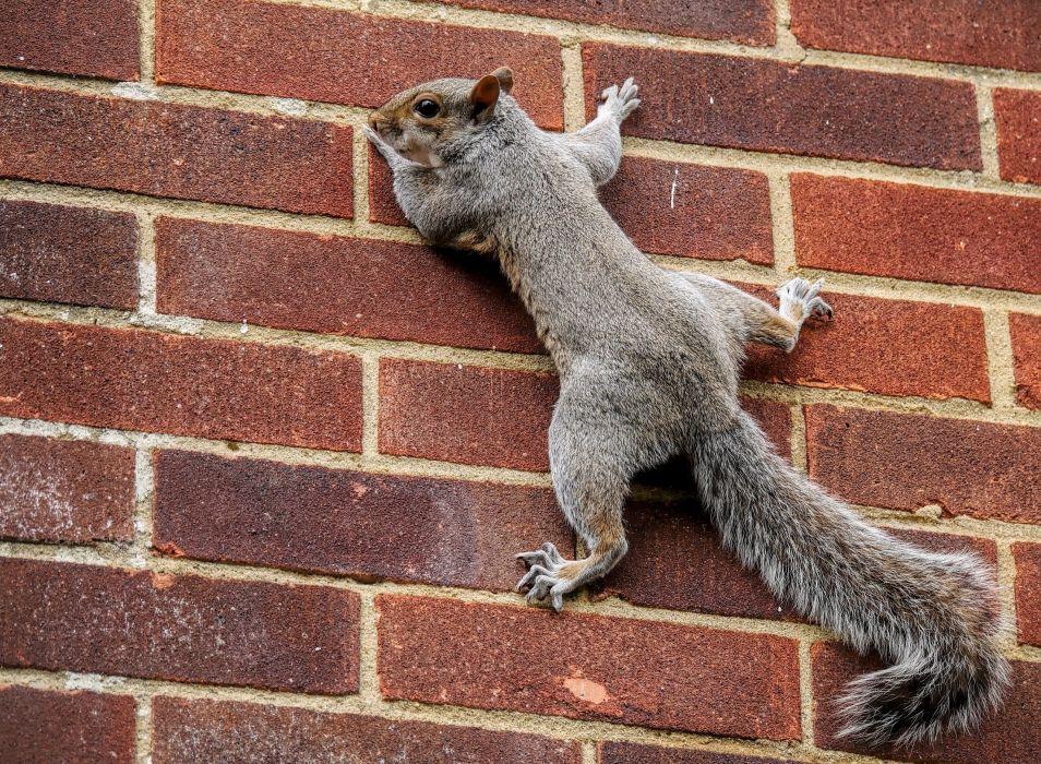 squirrel tail wall wall bricks wallpaper