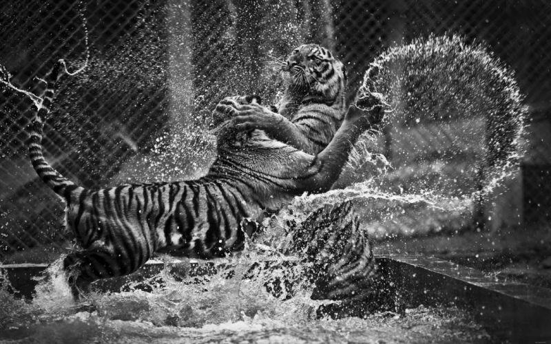 tiger predator cat k wallpaper