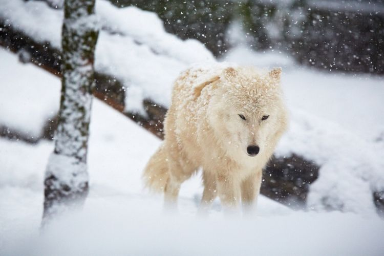 wolf wolves lobo snow winter wallpaper