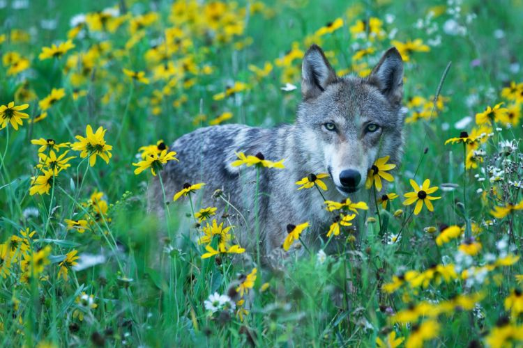 wolf flowers meadow view wolves wallpaper
