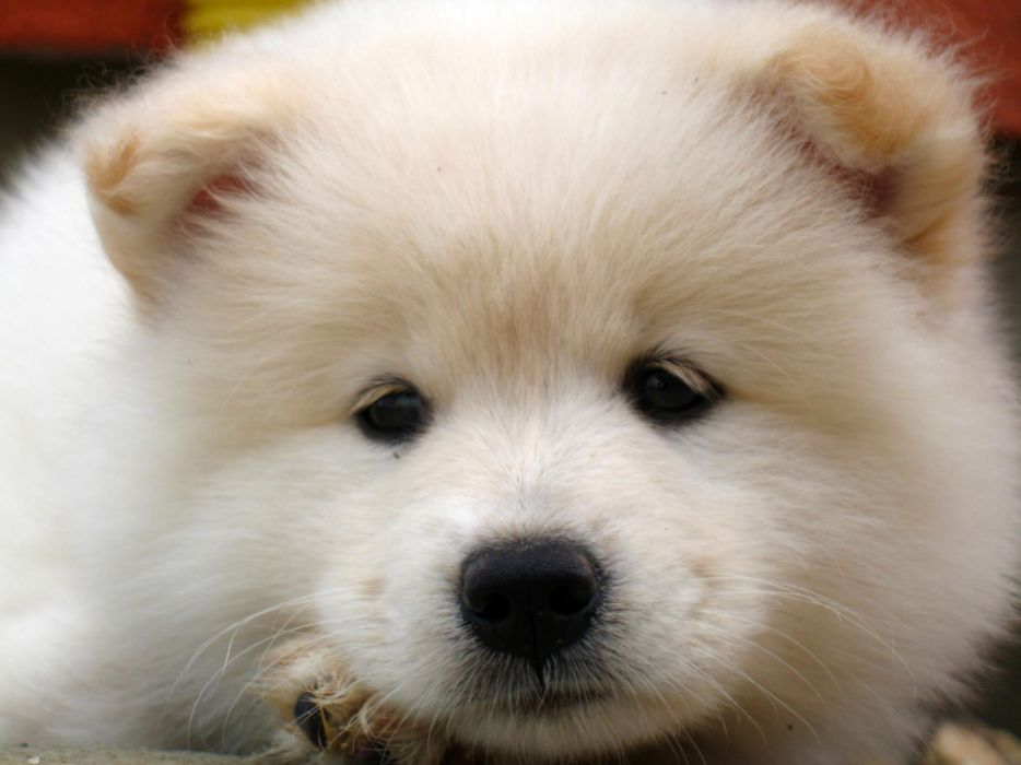 SAMOYED dog dogs canine baby puppy wallpaper