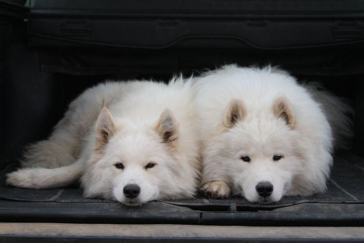 SAMOYED dog dogs canine wallpaper